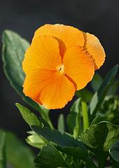 Viola/Violet Flower