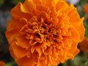 African Marigold Flower