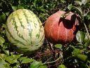 Water melon & Melon