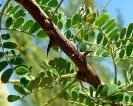 Mimosa Acacia Plant