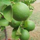 Key Lime Fruit