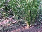 Vetiver Grass