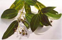 Cinnamon Plant