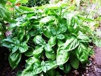 Basil Herb Plant