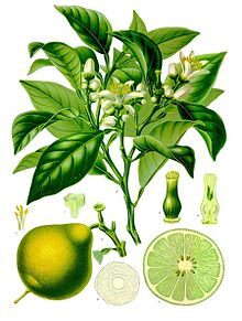 Bergamot Orange Plant Drawing