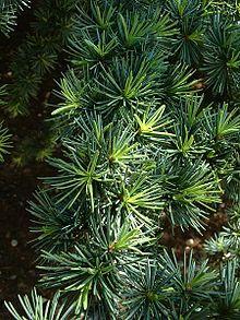 Cedar-Wood Tree
