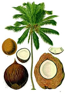 Coconut Palm Drawing
