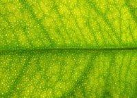 Citrus Tree Leaf