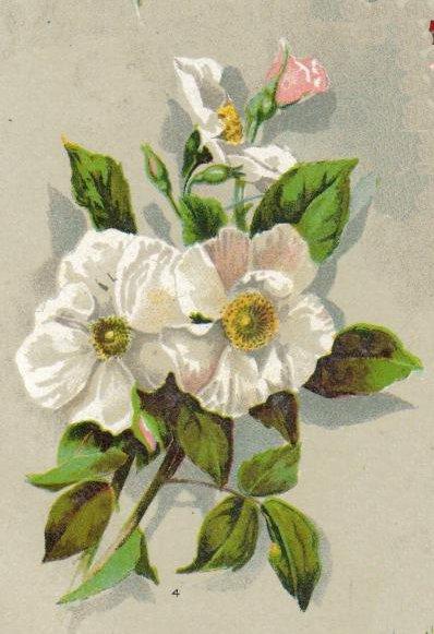 Musk Rose Plant