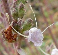 White Sage Plant