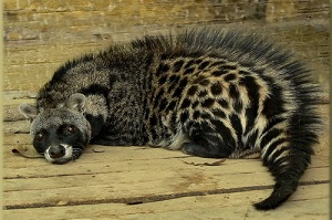 African Civet Musk
