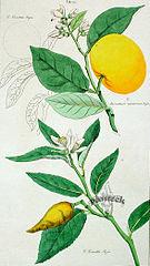 Citrus Plant Drawing