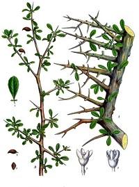 Myrrh Tree Drawing
