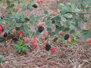 Dewberry Fruit Plant