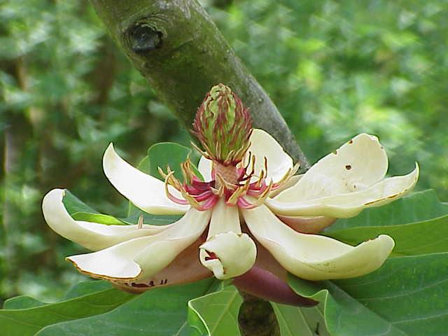 Magnolia Obotava Plant