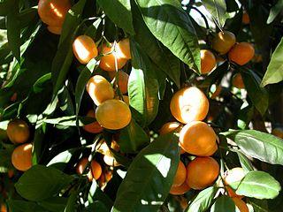 Mandarin Orange Tree