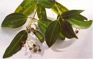 Sri-Lanka Cinnamon Plant