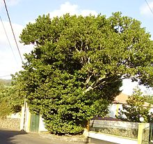 Ocotea Tree (Sweet-Wood)