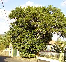 Ocotea Tree (Sweet-Wood)