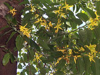 Ylang-Ylang Tree