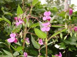 Peru Balsam Plant
