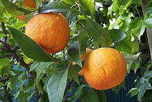 Bitter Orange Fruit