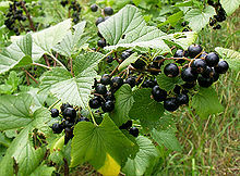 Blackcurrant Plant