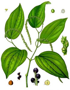 Black Pepper Plant Drawing
