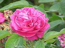 Bulgarian Rose Plant