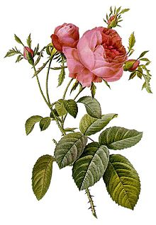 Cabbage Rose plant Drawing