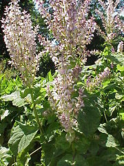 Clary Sage Plant