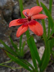 Freesia Laxa Plant
