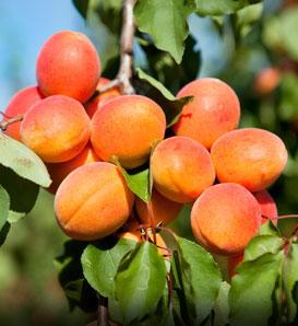 Golden Apricots