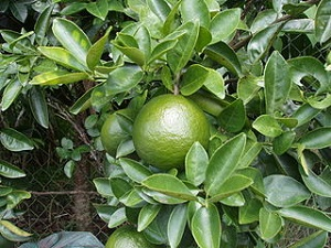 Green Mandarin Orange
