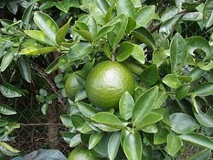 Green Mandarin Orange