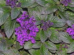 Heliotrope Plant