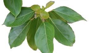 Ho Leaf Plant