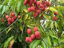 Lychee Plant