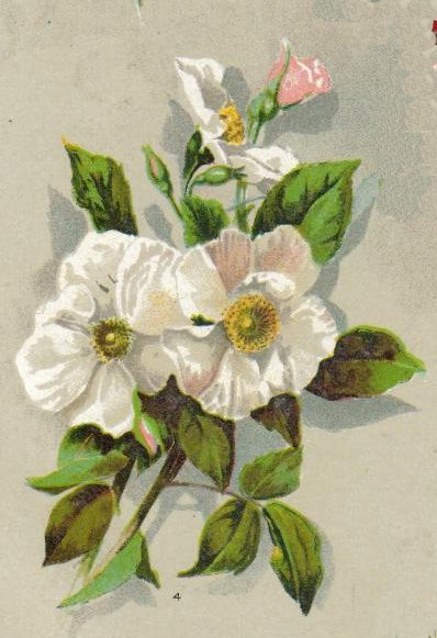 Musk Rose Plant
