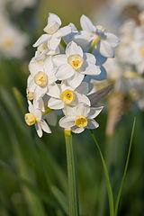 Nacissus Plant
