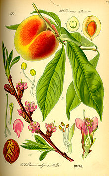 Peach Plant Drawing