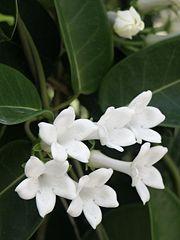 White Stephanotis Plant