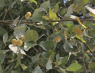 Strax Plant
