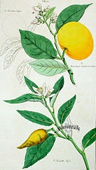 Sweet Lime Plant Drawing
