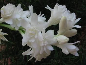 Tuberose Plant