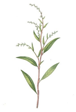 Water Pepper Plant Drawing