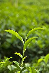 White Tea Plant