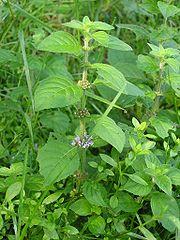 Wild Mint Plant