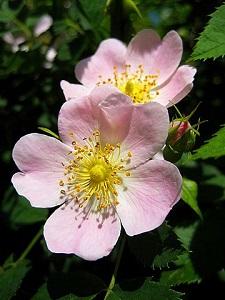 Wild Rose Plant