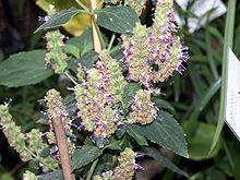 Patchouli Plant
